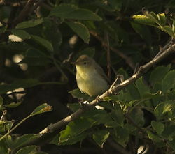 Melodious Warbler photographed at Select location on 24/9/2013. Photo: © Karen Jehan
