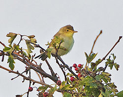 Melodious Warbler photographed at Bordeaux [BOR] on 24/9/2013. Photo: © Royston Carr�