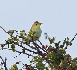 Melodious Warbler photographed at Bordeaux [BOR] on 24/9/2013. Photo: © Anthony Loaring