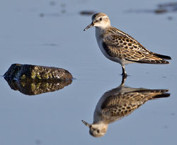 Little Stint photographed at Colin Best NR [CNR] on 23/9/2013. Photo: © Mike Cunningham