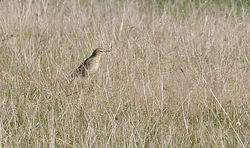 Tawny Pipit photographed at Creux Mahie on 22/9/2013. Photo: © Mark Lawlor