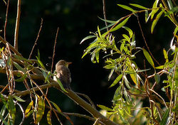 Melodious Warbler photographed at Bordeaux [BOR] on 24/9/2013. Photo: © Mark Lawlor