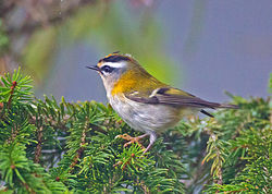 Firecrest photographed at St Peter Port [SPP] on 26/9/2013. Photo: © Mike Cunningham
