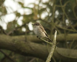Spotted Flycatcher photographed at Pleinmont [PLE] on 26/9/2013. Photo: © Karen Jehan