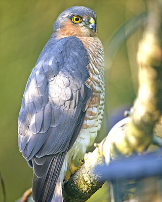 Sparrowhawk photographed at St Peter Port [SPP] on 27/9/2013. Photo: © Royston Carr�