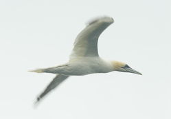 Gannet photographed at Pelagic [PEL] on 28/9/2013. Photo: © Karen Jehan