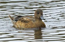 Wigeon photographed at Claire Mare [CLA] on 29/9/2013. Photo: © Anthony Loaring