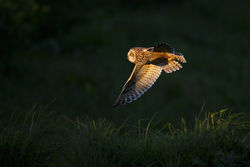 Short-eared Owl photographed at Pleinmont [PLE] on 3/5/2013. Photo: © steve levrier