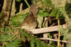 Grasshopper Warbler photographed at Scramble Track [SCR] on 5/10/2013. Photo: © Mark Guppy