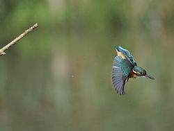 Kingfisher photographed at Rue des Bergers [BER] on 8/10/2013. Photo: © Royston Carr�