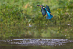 Kingfisher photographed at Rue des Bergers [BER] on 8/10/2013. Photo: © Mike Cunningham