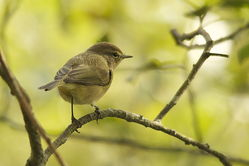 Chiffchaff photographed at Corbiere [COR] on 12/10/2013. Photo: © Karen Jehan