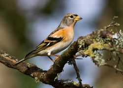 Brambling photographed at Mont Marche on 18/10/2013. Photo: © Adrian Gidney