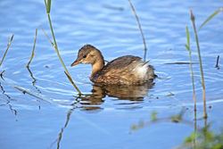 Little Grebe photographed at Rue des Bergers [BER] on 21/10/2013. Photo: © Mike Cunningham