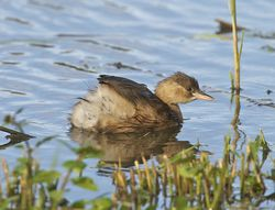 Little Grebe photographed at Rue des Bergers [BER] on 21/10/2013. Photo: © Royston Carr�