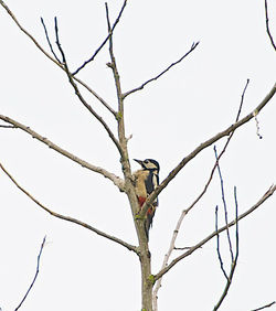Great Spotted Woodpecker photographed at Rue des Bergers [BER] on 22/10/2013. Photo: © Royston Carr�