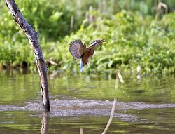 Kingfisher photographed at Rue des Bergers [BER] on 23/10/2013. Photo: © Royston Carr�