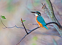 Kingfisher photographed at Rue des Bergers [BER] on 23/10/2013. Photo: © Mike Cunningham