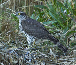 Sparrowhawk photographed at Claire Mare on 23/10/2013. Photo: © Anthony Loaring