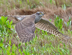 Sparrowhawk photographed at Claire Mare [CLA] on 31/10/2013. Photo: © Mike Cunningham