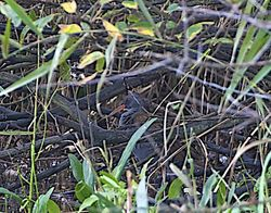 Water Rail photographed at Claire Mare [CLA] on 31/10/2013. Photo: © Royston Carr�