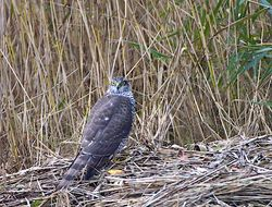 Sparrowhawk photographed at Claire Mare [CLA] on 31/10/2013. Photo: © Royston Carr�