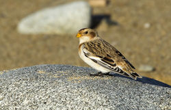Snow Bunting photographed at Rousse [ROU] on 4/11/2013. Photo: © Anthony Loaring