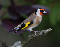 Goldfinch photographed at St Peter Port [SPP] on 5/11/2013. Photo: © Mike Cunningham