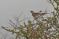 Fieldfare photographed at St Andrew (Parish) on 5/11/2013. Photo: © Jay Friend