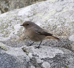 Black Redstart photographed at Fort Doyle on 6/11/2013. Photo: © Cindy  Carre
