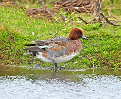Wigeon photographed at Claire Mare [CLA] on 6/11/2013. Photo: © Mike Cunningham