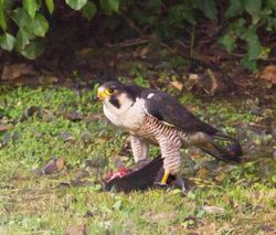 Peregrine photographed at King's Mills [KIN] on 6/11/2013. Photo: © David du Jardin
