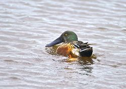 Shoveler photographed at Claire Mare [CLA] on 6/11/2013. Photo: © Royston Carr�
