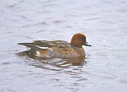 Wigeon photographed at Claire Mare [CLA] on 6/11/2013. Photo: © Royston Carr�