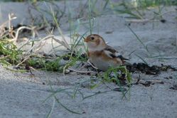 Snow Bunting photographed at Richmond [RIC] on 9/11/2013. Photo: © Mark Guppy