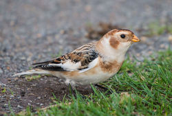 Snow Bunting photographed at Fort Le Marchant [MAR] on 9/11/2013. Photo: © Peter Howlett