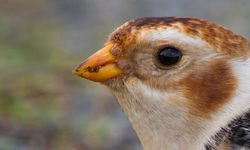 Snow Bunting photographed at Fort Doyle [DOY] on 10/11/2013. Photo: © Dan Scott
