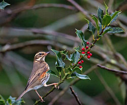 Redwing photographed at St Peter Port [SPP] on 11/11/2013. Photo: © Mike Cunningham