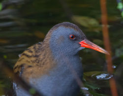 Water Rail photographed at Rue des Bergers [BER] on 11/11/2013. Photo: © Dan Scott