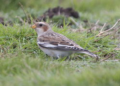 Snow Bunting photographed at Fort Doyle [DOY] on 12/11/2013. Photo: © Cindy  Carre