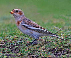 Snow Bunting photographed at Fort Doyle [DOY] on 12/11/2013. Photo: © Mike Cunningham