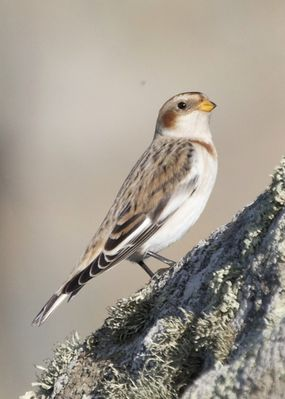 Snow Bunting photographed at Fort Doyle [DOY] on 13/11/2013. Photo: © Cindy  Carre