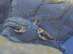 Snow Bunting photographed at Fort Doyle [DOY] on 13/11/2013. Photo: © Royston Carr�