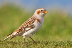 Snow Bunting photographed at Fort Doyle [DOY] on 13/11/2013. Photo: © Chris Bale