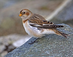 Snow Bunting photographed at Fort Doyle on 13/11/2013. Photo: © Mike Cunningham