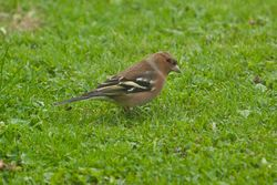 Chaffinch photographed at St Martin (Parish) on 16/11/2013. Photo: © Jay Friend
