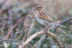 Reed Bunting photographed at Pleinmont [PLE] on 17/11/2013. Photo: © Chris Bale