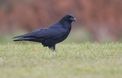 Raven photographed at Pleinmont [PLE] on 17/11/2013. Photo: © Chris Bale