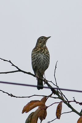 Song Thrush photographed at St Martin (Parish) on 18/11/2013. Photo: © Jay Friend