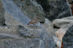 Black Redstart photographed at Jaoneusse on 20/11/2013. Photo: © Jay Friend